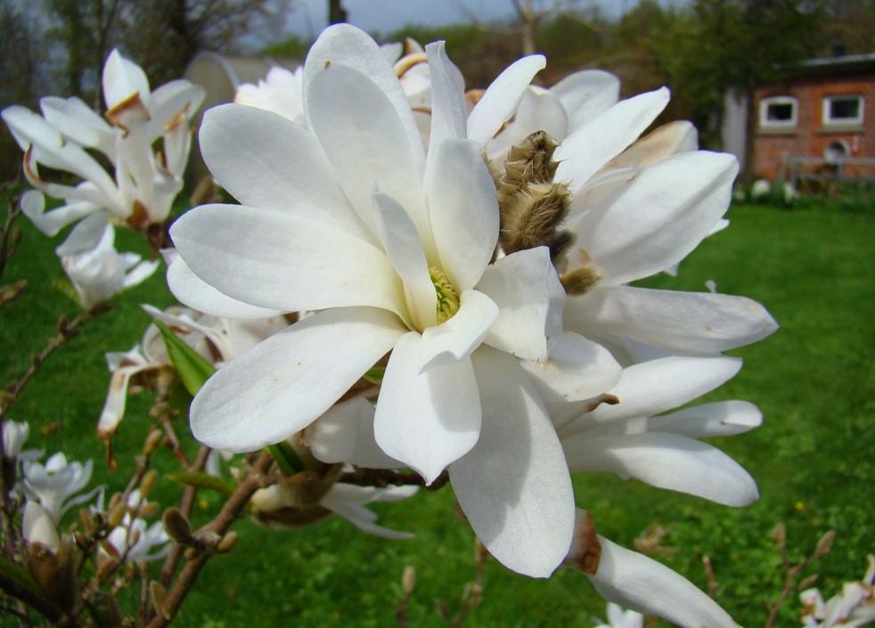 magnolia busk størrelse