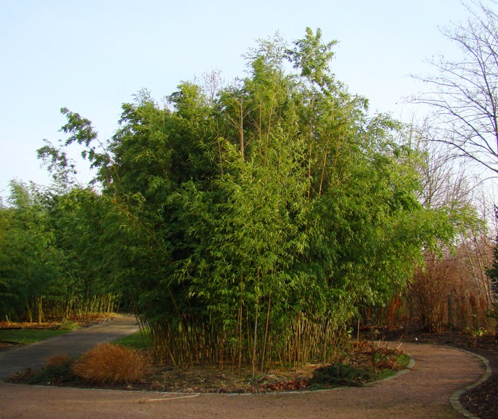 www.dendrologi.dk. Smuk bambus. Phyllostachys decora. Form. Martin Reimers